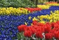 اسامی گلهای با بیشترین میزان تولید در بازار ۵۰۰ میلیون دلاری گل ایران