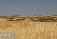گندم سبز بدون قیمتگذاری مناسب طلایی نمیشوند