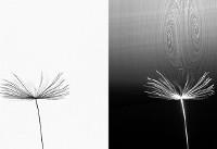کشف راز پرواز دانههای قاصدک! (+عکس)