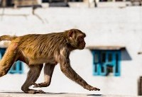 حمله میمونها با آجر، جان پیرمرد هندی را گرفت