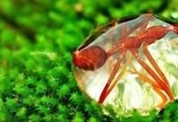 مورچه ای غوطه ور در قطره! +عکس