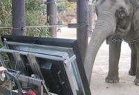 فیلی که قادر به کار با تبلت است