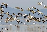 سرشماری سراسری پرندگان مهاجر آبزی و کنار آبزی انجام میشود
