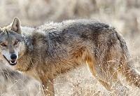 حمله گرگ، علت مرگ کودک میبدی نیست