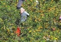 تبادل نارنگی و قارچ بین ۲ کره برای بهبود روابط
