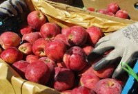 رشد ٢٠ درصدی تولید مرکبات | نیازی به واردات سیب درختی نداریم