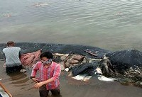 مرگ نهنگی که ۶ کیلو پلاستیک خورد! + فیلم
