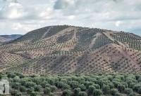 حجتی از طرح توسعه باغات زیتون در اراضی شیبدار طارم بازدید کرد