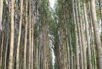 صنوبرها پیشمرگ جنگل میشوند