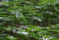 Incoming Mexico government sends marijuana bill to Congress