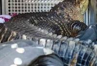 فیلم |  نگهداری تمساح دو متری در خانهای در کانزاس آمریکا