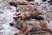 سلاخی گله گرگها به دست شکارچیان قزاق+فیلم و عکس