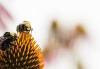 وقتی زنبور عسل الکترونیکی می شود! (+فیلم و عکس)