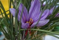 رشد ۴۶ درصدی صادرات زعفران