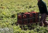 تذکر نماینده دشتی در واکنش به ممنوعیت صادرات گوجهفرنگی