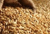 تشکیل ۵۰ پرونده در رابطه با بذرهای نامرغوب در دادگاه فاریاب