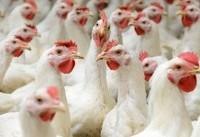 آنفلوانزای فوق حاد پرندگان در کشور کنترل شده است