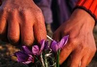 اعلام رضایت کشاورزان از عرضه زعفران در بورس کالا
