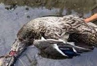 علت مرگ پرندگان مهاجر در دریاچه چیتگر چیست؟/به پرندگان وحشی نزدیک نشوید!