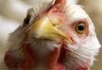علائم آنفولانزای پرندگان در انسان | آنفولانزای جدید خطرناک است؟