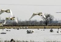 (تصاویر) کوچ سالانه پرندگان به تالابهای مازندران