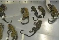 ترس از شیوع تب زرد و کشتار غیرقانونی میمونها در برزیل