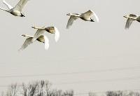 کوچ پرندگان به تالابهای مازندران (عکس)
