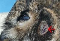 آیا میدانستید چشم جغد از داخل گوشش دیده میشود؟ (+عکس)