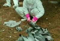 بیماری نیوکاسل، علت تلفات کبوتران اسلام آباد