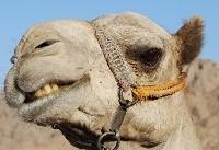 جراحی زیبایی شترها در عربستان سعودی!