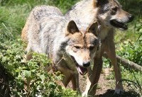 France to let wolf packs grow despite angry farmers