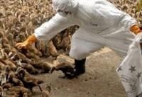 کشور در آستانه شیوع آنفلوآنزای جدید مرغی