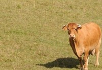 Cow Who Escaped Slaughter And Swam To Island Dies After Recapture
