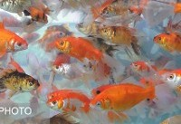ویدئو / چالشی به نام خرید ماهی قرمز