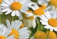 خواص آنتی اکسیدانی گل بابونه