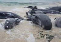 Shark alert as more than 130 beached whales die in Western Australia
