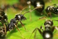 مورچهها تروریست انتحاری دارند!