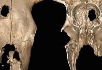 کشف قدیمیترین مورد جراحی در جمجمه یک گاو