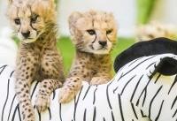 عکس روز: بچه چیتاها