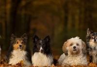 کشف ۵۹ ژن عامل توانایی در نژاد مختلف سگها
