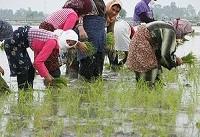 کشت برنج فقط در گیلان و مازندران