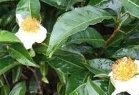 باغات چای از ظرفیتهای آگروتوریسم گیلان