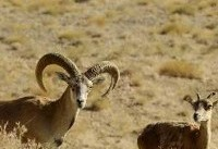 افزایش تعداد قوچ و میش ارمنی در جزایر دریاچه ارومیه