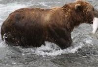 US moves to lift Obama-era curbs on killing hibernating bear cubs in Alaska