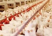 نگرانی مرغداران؛ ۷۰ درصد خوراک مرغ وارداتی است