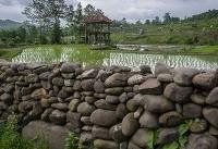 نشاء برنج در سواد کوه (عکس)