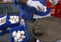 قارچهای عرضه شده در مراکز معتبر، سمی نیست
