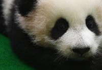 Panda cub makes first public appearance at Malaysia zoo