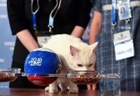 پیشگویی درست گربه روسی درباره نتیجه بازی ایران و مراکش!