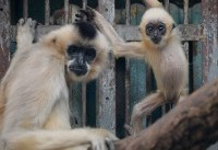 An Ancient Chinese Tomb Reveals an Extinct Species of Gibbon, and a Warning